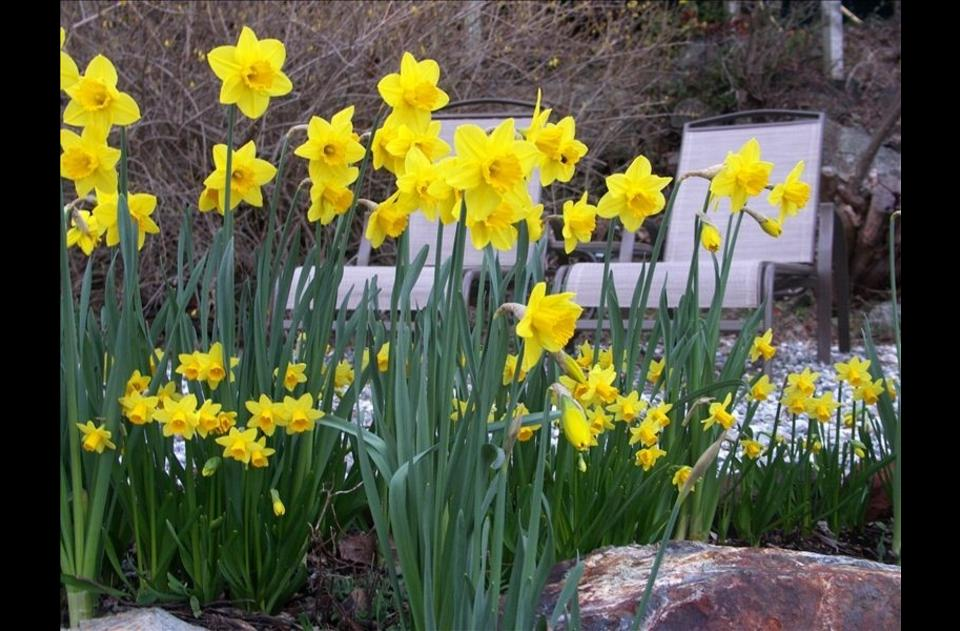 Over 600 daffodils will bloom on the property March - April