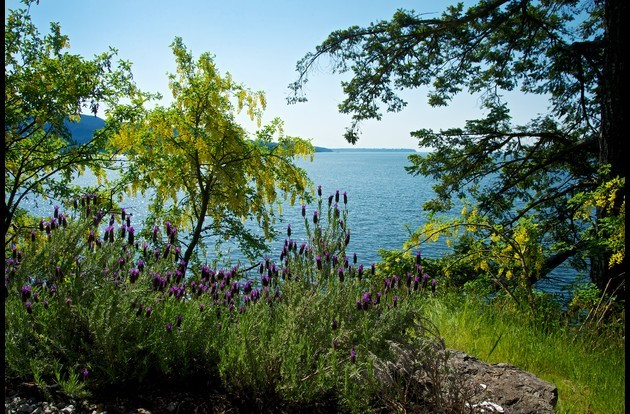 Our lower clifside yard is framed with wild Laburnum and lavender framing the water views