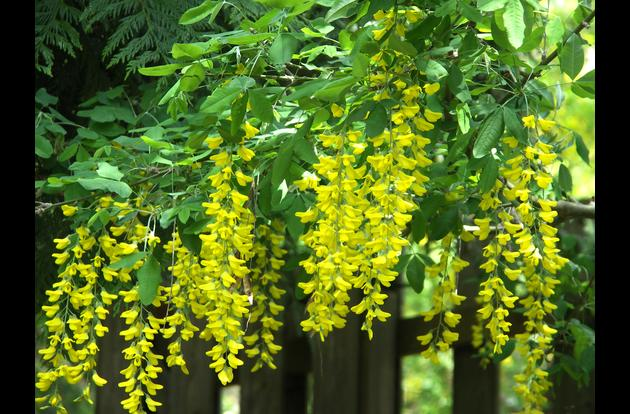 Laburnum surrounds the property in May